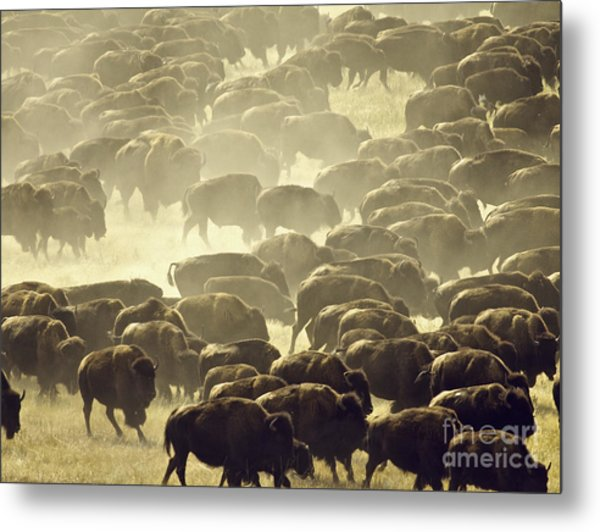 Dust And Hooves Metal Print
