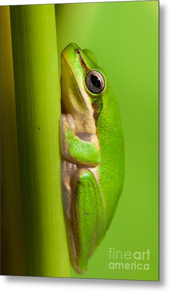 Dwarf Tree Frog Metal Print by Johan Larson