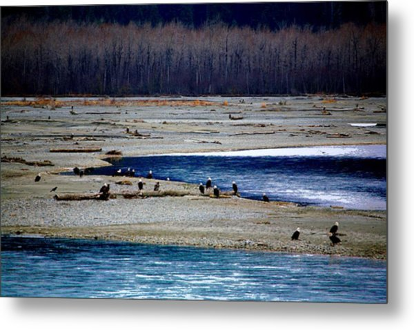 Eagles Of The Chilkat Metal Print by Carrie OBrien Sibley