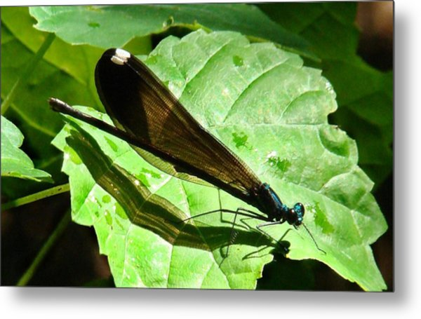 Ebony Jewelwing Damselfly II Metal Print by Bruce W Krucke