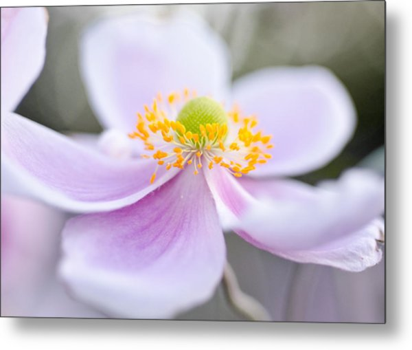 Metal Print featuring the photograph Elegant Anemone by Margaret Pitcher