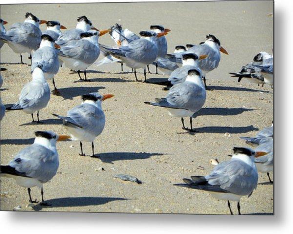 Elegant Terns Enjoying The Beach Metal Print by Suzie Banks