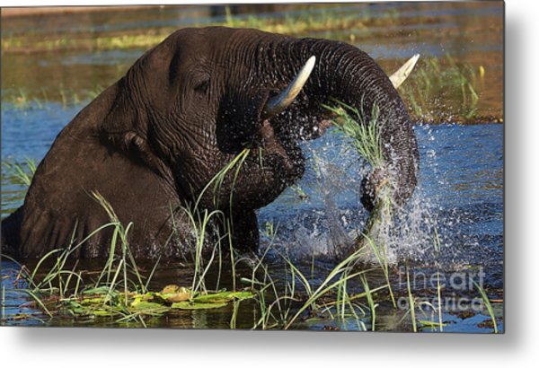 Elephant Eating Grass In Water Metal Print