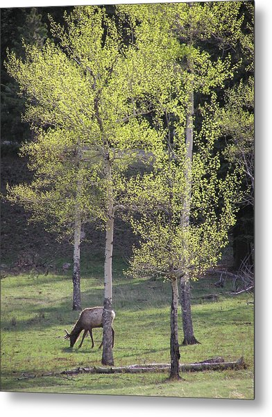 Elk Grazing In Early Spring Metal Print