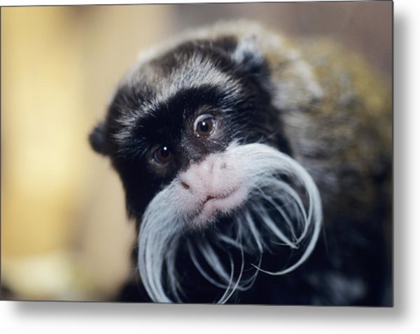 Emperor Tamarin Metal Print by David Aubrey