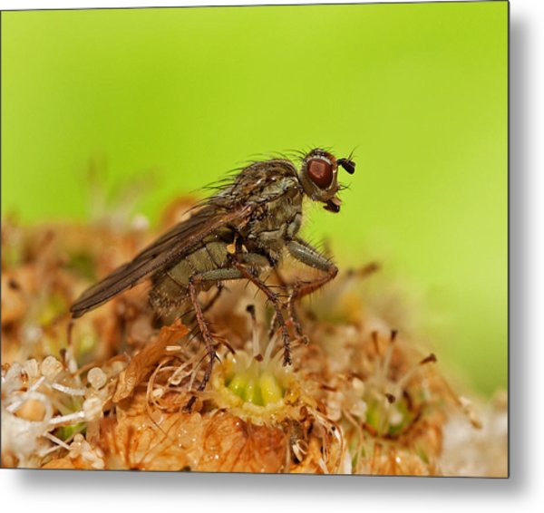 Empid Fly Metal Print by Paul Scoullar