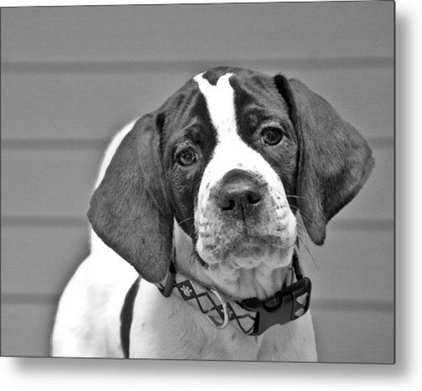 English Pointer Puppy Black And White Metal Print