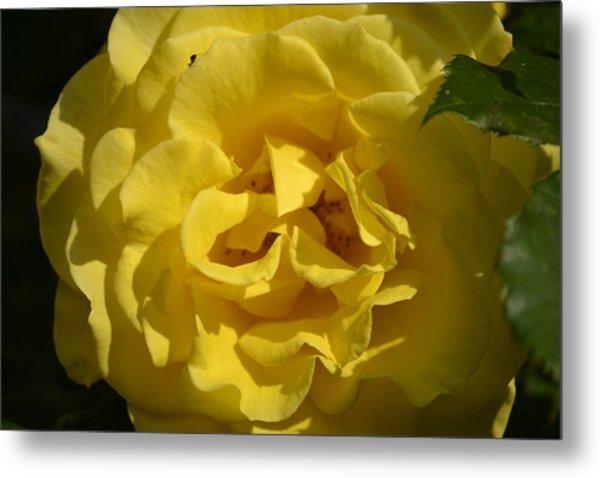 English Rose - Yellow Metal Print by Dickon Thompson