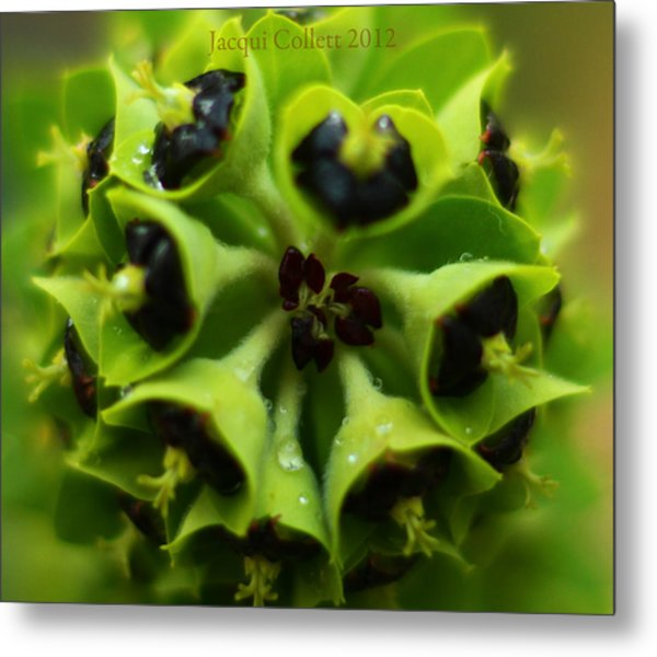 Euphorbia Metal Print by Jacqui Collett