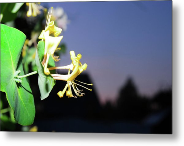 Evening Sonata. Perfoliata Metal Print