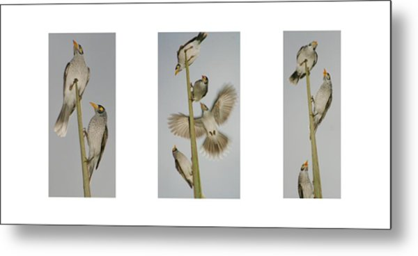 Evening Song Birds Trio Metal Print