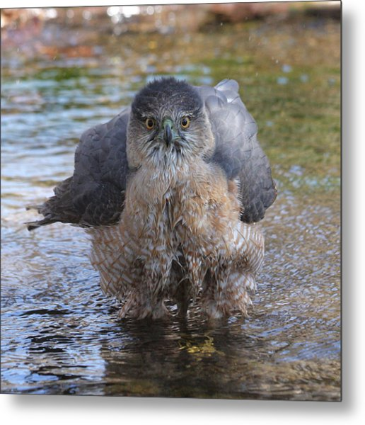 Excuse Me But I Am Bathing Here. Metal Print