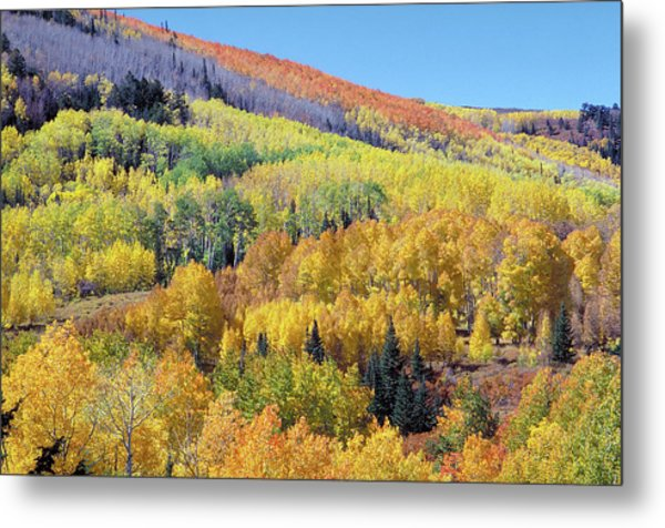 Fall Color Aspen Near Dolores Colorado Metal Print