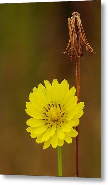 False Dandelion Flower With Wilted Fruit Metal Print