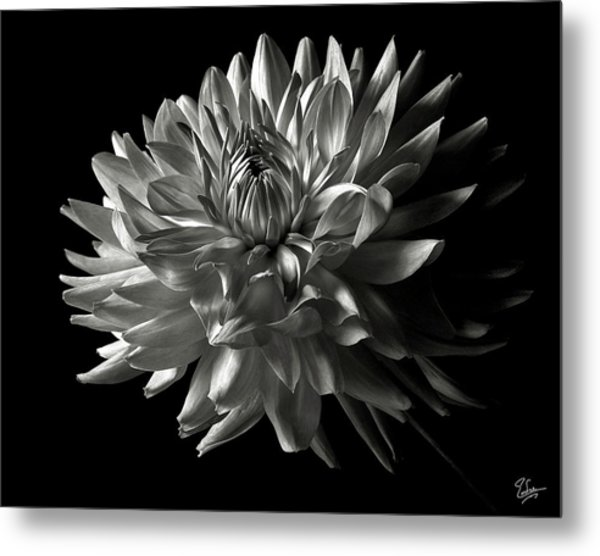 Fancy Dahlia In Black And White Metal Print
