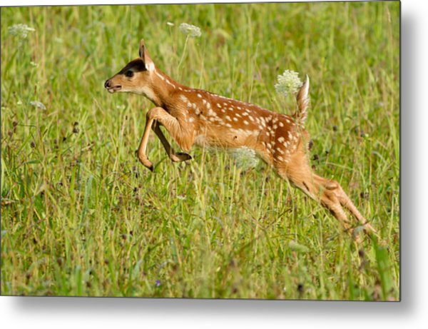 Fawn Bounce  Metal Print by Glenn Lawrence