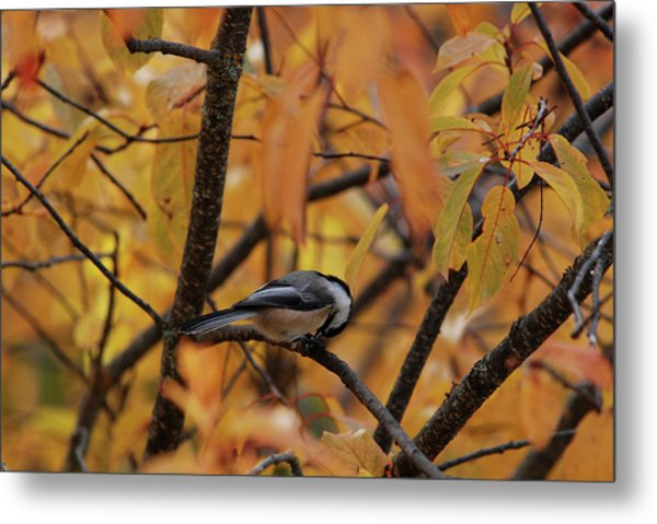 Feeding Chickadee Metal Print