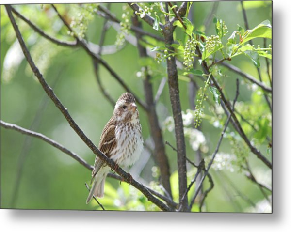 Female Purple Finch Metal Print