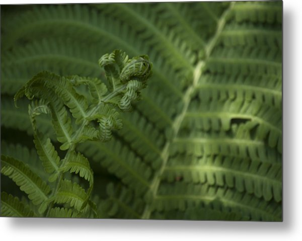 Fern Unfolding Metal Print