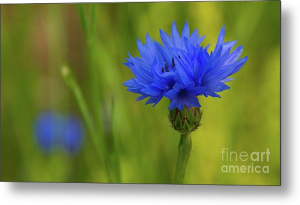 Field Flower - Blue-bottle Metal Print
