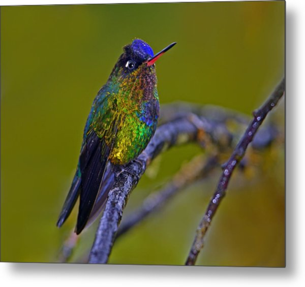 Fiery-throated Hummingbird Metal Print