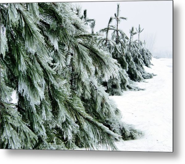 Fir And Ice Metal Print by Sophie Vigneault