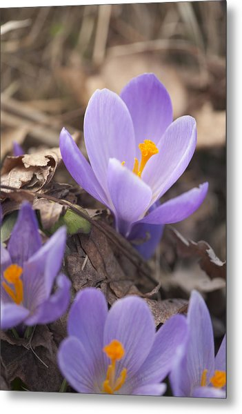 First Crocus Blooms Metal Print