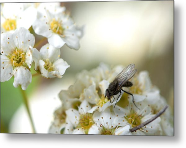 Flower Fly Metal Print by Michael Wilcox