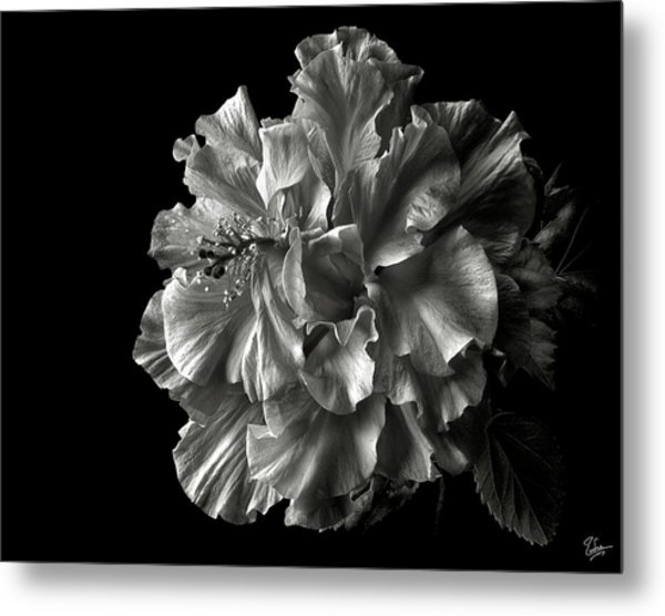 Fluffy Hibiscus In Black And White Metal Print