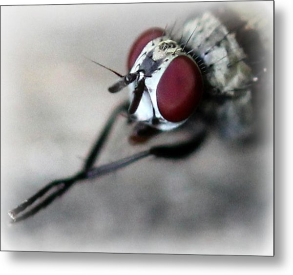 Fly Rubbing His Legs Together  Metal Print by Maureen  McDonald