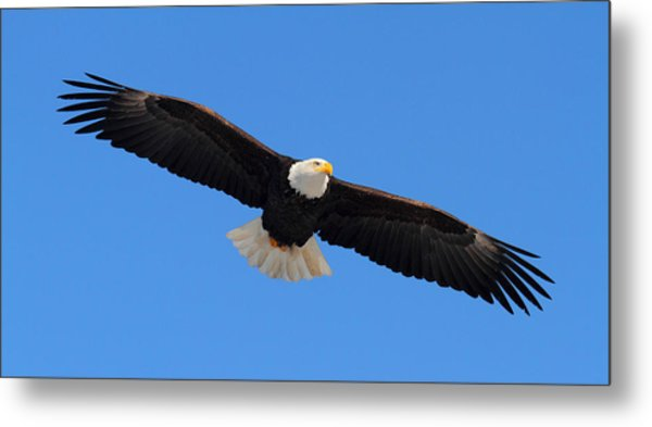 Flying Bald Eagle Metal Print