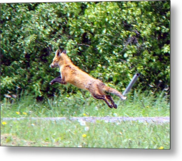 Flying Red Fox Metal Print by Mark Haley