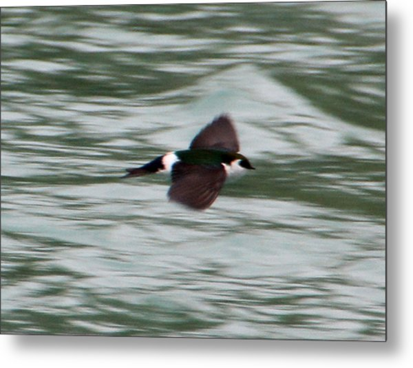 Flying Tree Swallow Metal Print by Mark Caldwell