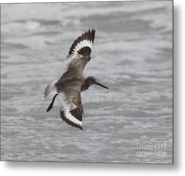 Flying Willet Metal Print by Chris Hill