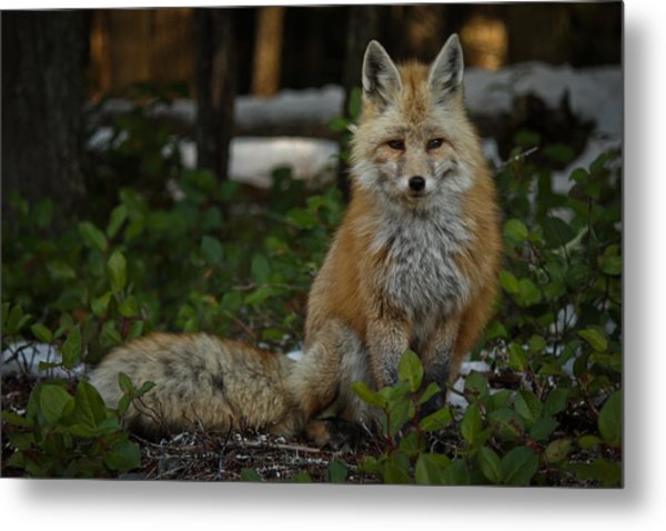 Fox In The Forest Metal Print by Warren Marshall