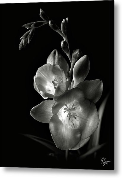 Freesia In Black And White Metal Print