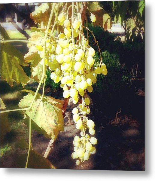 Fresh Green Grapes From My Friends Metal Print