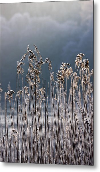 Frozen Reeds At The Shore Of A Lake Metal Print
