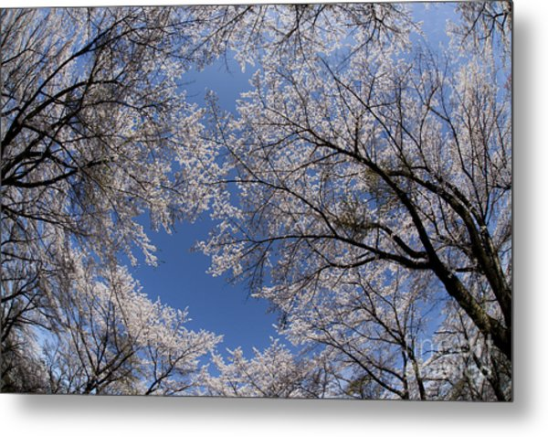Full Bloomed Sakura Metal Print