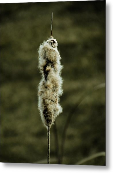 Fuzzy Cattail  Metal Print by Beth Akerman