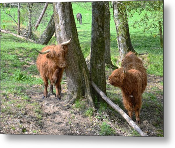Fuzzy Cows Metal Print by Bob Jackson