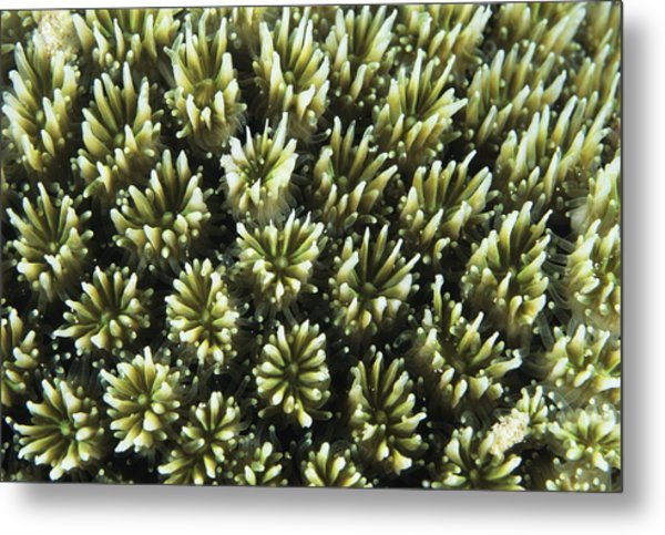 Galaxy Coral Metal Print by Alexis Rosenfeld