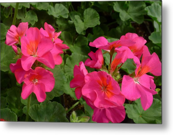 Geraniums Metal Print by Linda Pope