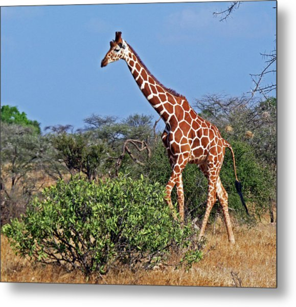 Giraffe Against Blue Sky Metal Print