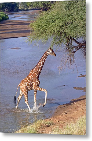 Giraffe Crossing Stream Metal Print