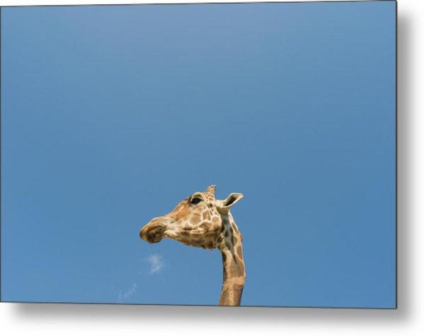 Giraffe's Head Metal Print