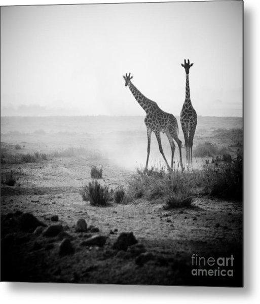 Giraffes In Amboseli National Park Kenya Metal Print