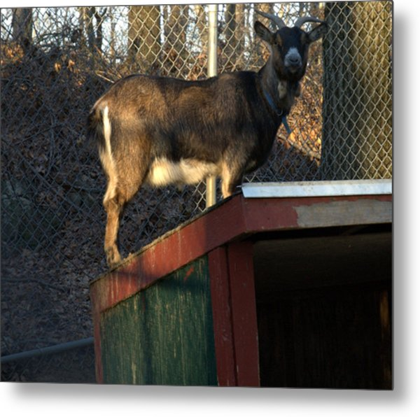 Goat On A Hot Tin Roof Metal Print by Bruce Carpenter