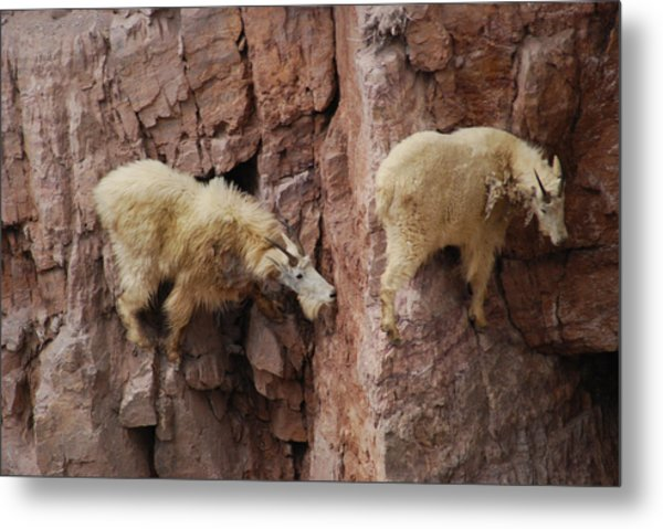 Goats On Rocks Metal Print