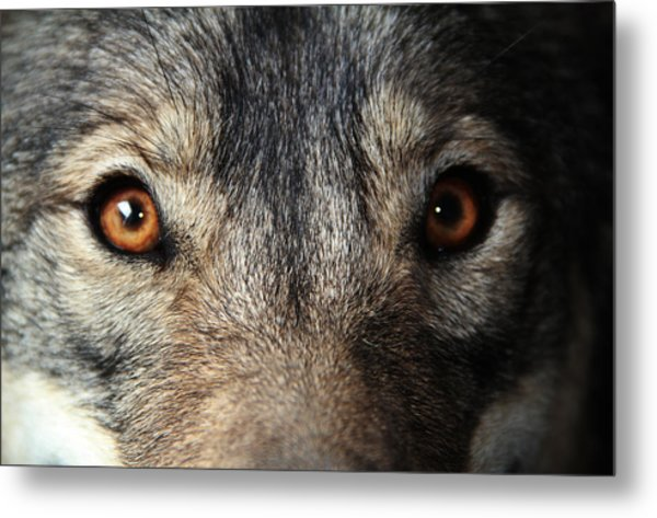 Golden Eyes Metal Print by Kim French